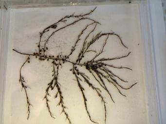 Sargassum muticum 2